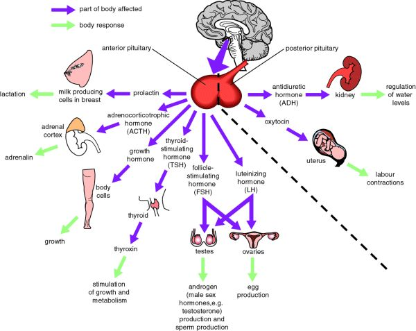 fisiologia-ipofisi